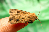The Heart and Dart moth (Agrotis exclamationis)