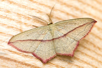 The Blood-vein moth, (Timandra comae)