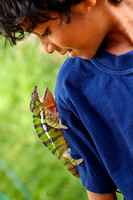 Panther chameleon (Furcifer pardalis) with my son playing