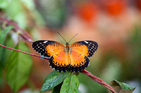 Cethosia biblis, common name Red Lacewing