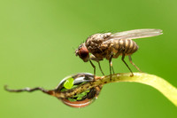 Fruit fly (Drosophila melanogaster) with a dew droplet on blade of grass