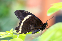 Green-banded Swallowtail (Papilio nireus), male
